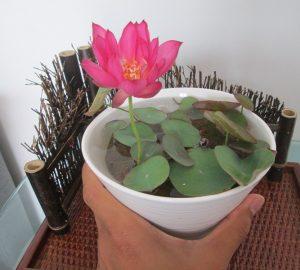 Missing Micro Lotus
