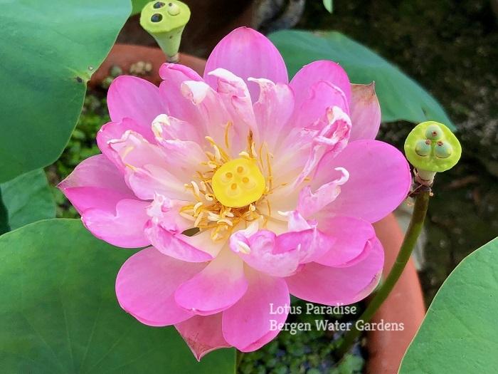 Spark Lotus