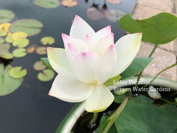 Mini Chu Lady Lotus