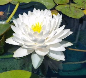 N. Gonnere waterlily