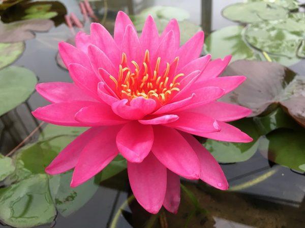 N. Miss Siam Waterlily
