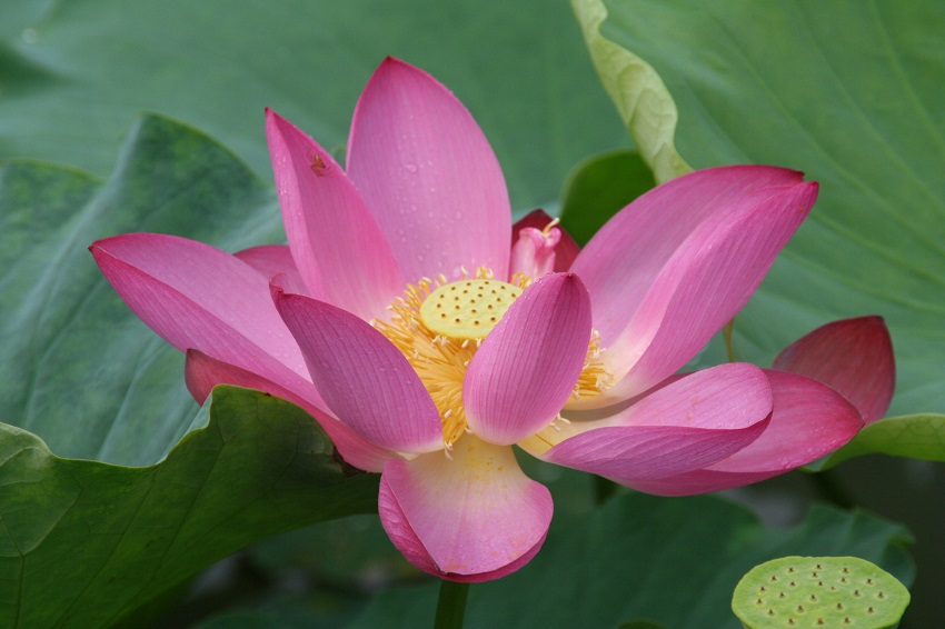 chinese Red Lotus