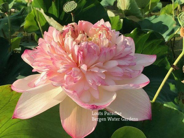 Gorgeous Purple Lotus