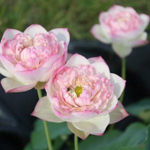 Purple Gorgeous Lotus