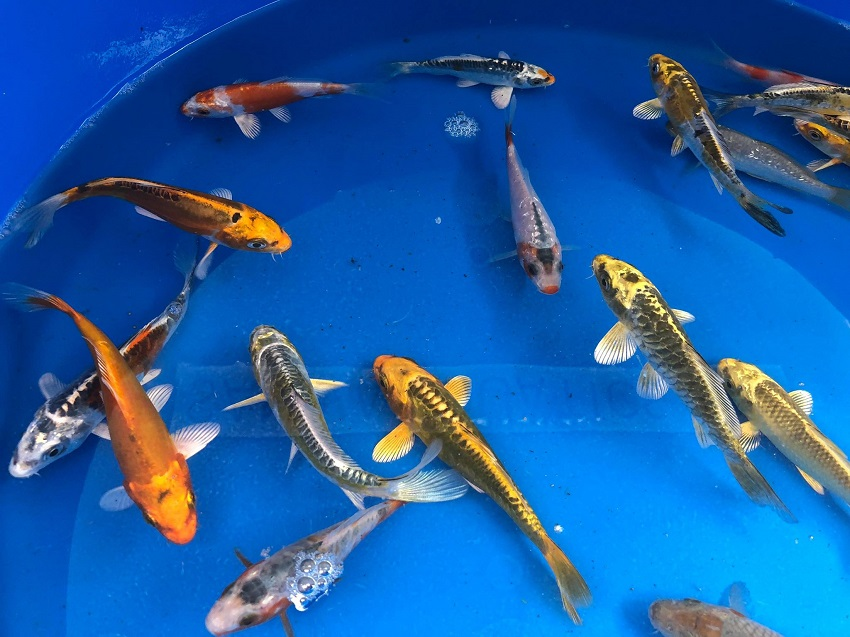 2018 koi and pond fish bergen water gardens lotus paradise for Koi pond plants for sale