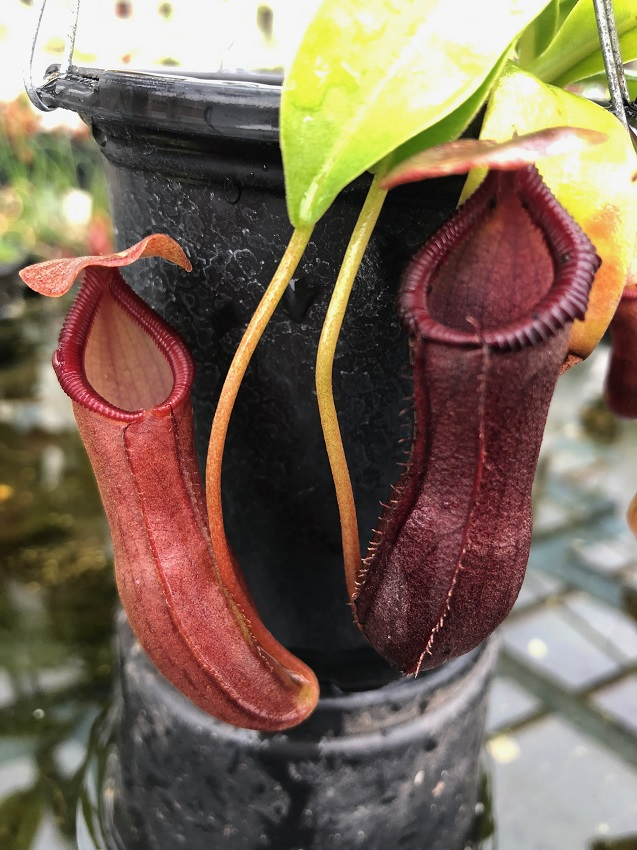 Nepenthes Bill Bailey BE3820
