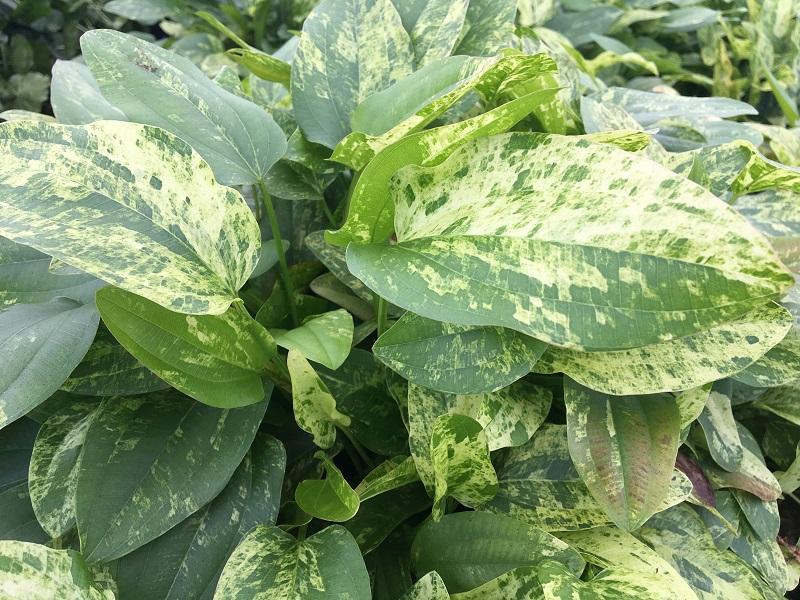 Hardy Marinal Plant