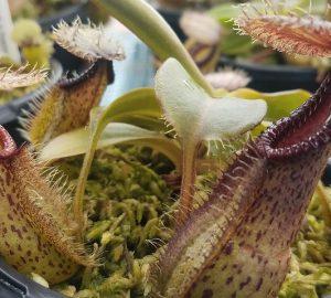 Nepenthes robcantleyi x hamata