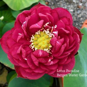 Impression of West Lake Lotus