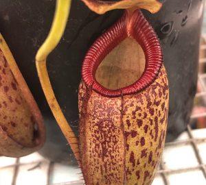 Nepenthes talangensis x sibuyanensis