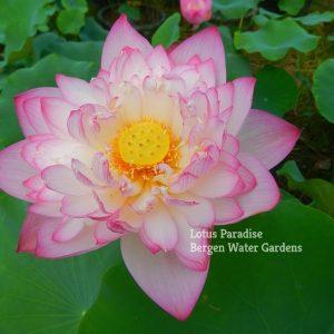 First Pink Lotus