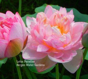 Hong Ying Lotus