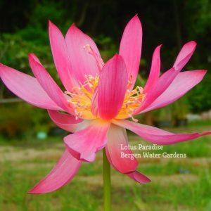 Endless Love Lotus