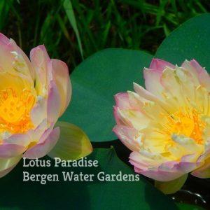 Colorful Jade Cup Lotus