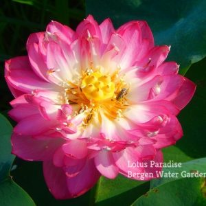 Apricot Flower in Spring Rain Lotus