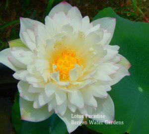 Brocaded Lotus