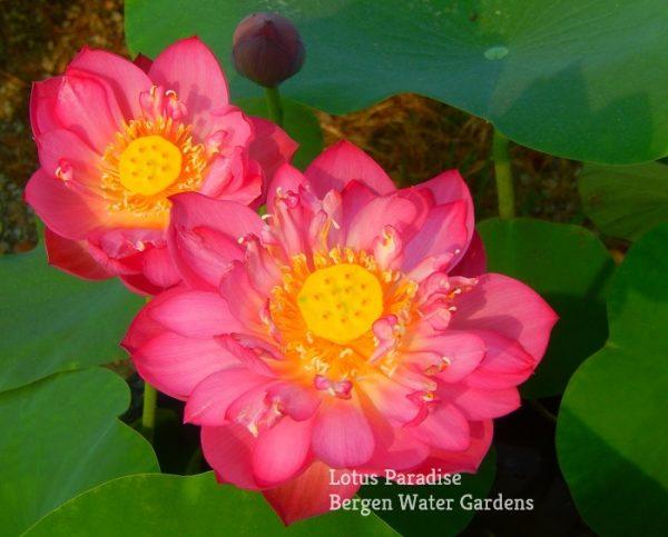 Beautiful Clouds Lotus