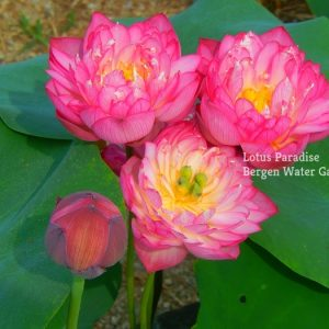 Colorful Butterfly Lotus