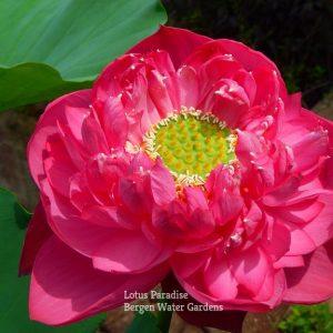 Goddess Xi Zi Lotus