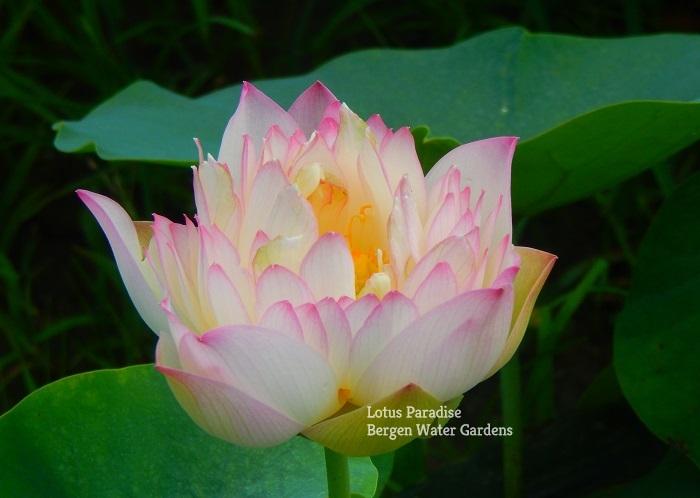 Flying Cloud Lotus