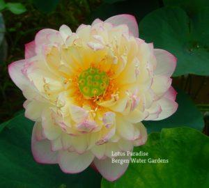 Goddess in Jinling Lotus