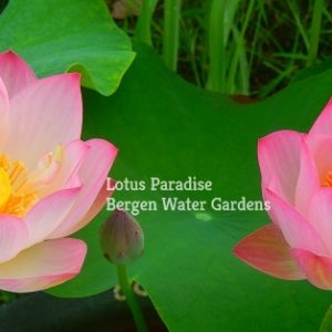 Jade Exquisite Lotus