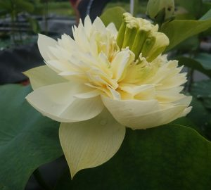 Chinese lotus flower