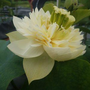 Chinese lotus flower