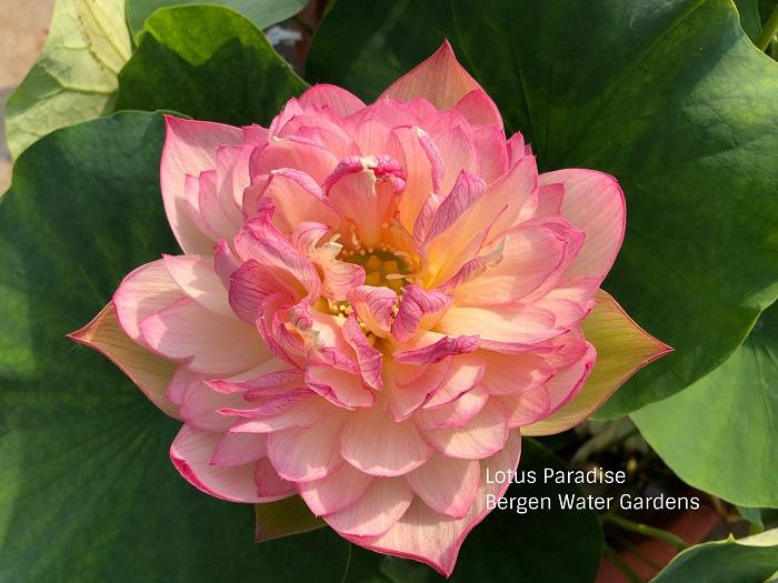 Beauty Lotus