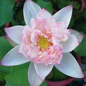 Glorious Brocade Lotus