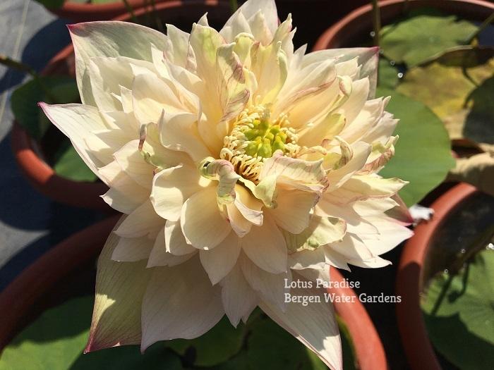 Golden Wave with Jade Lotus