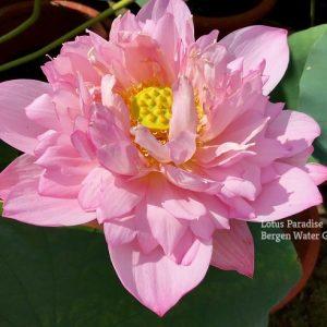 Glorious in Jiangnan Lotus