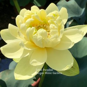 Gold Autumn Lotus