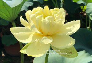 Gold Autumn Lotus