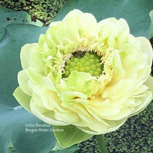 Gold &Jade Peony Lotus