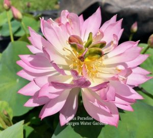 Colorful Light Lotus