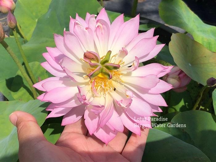 Colorful Light Lotus