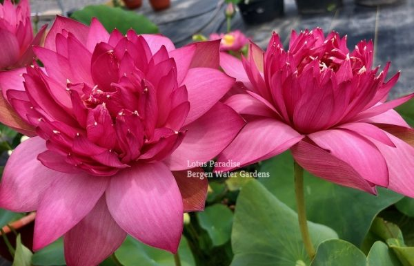 Flame 14 Lotus
