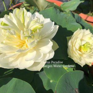 Fairy of Peony Lotus