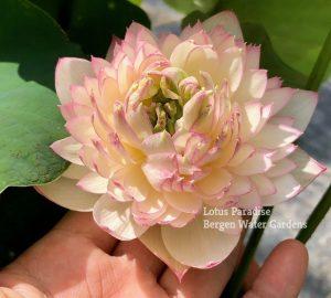 Buddha' Seat Lotus 13