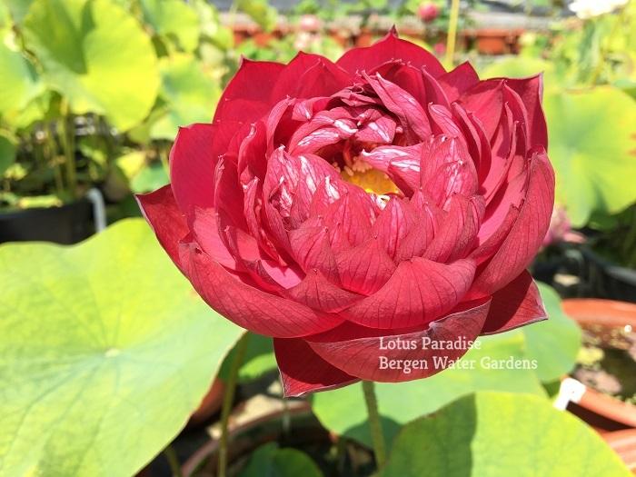 Bleeding Lotus