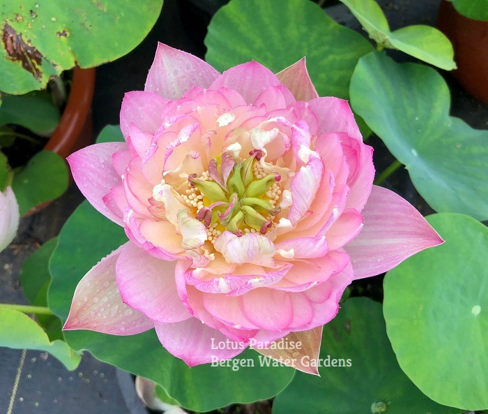 Brilliance of Light Red Lotus
