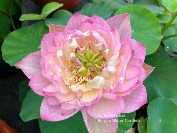 Brilliance of Light Red Lotus