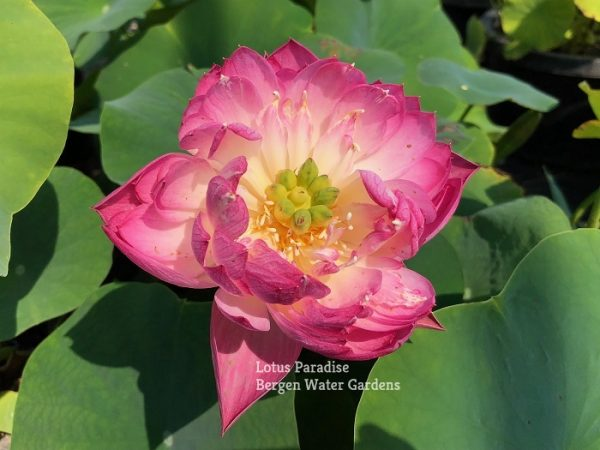 Drunken Beauty 13 Lotus