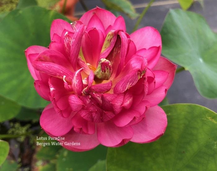 Happy Child Lotus