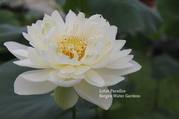 Feicui Lotus