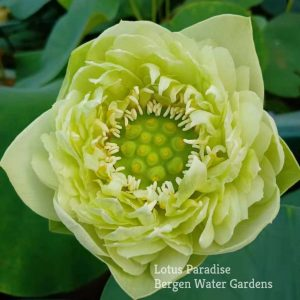 Gold and Jade Peony Lotus