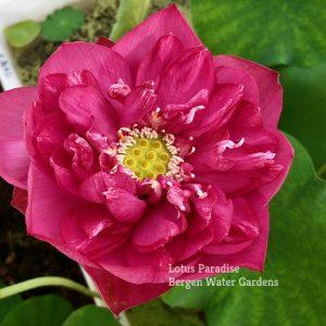 First Red Lotus