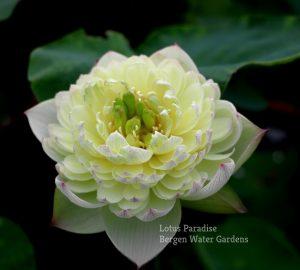 Fairy Cloud Lotus