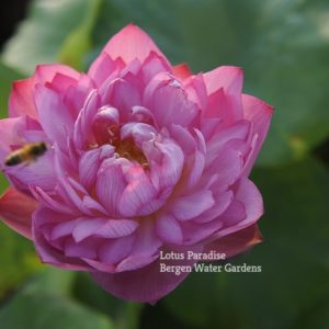 Red Skirt Lotus